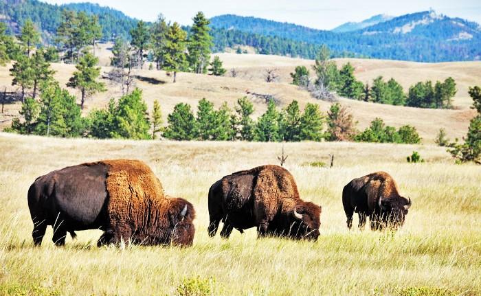 Buffalo (2)
