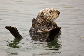 Sea otters off the coast of northern California have been affected by a variety of marine biotoxins -- including domoic acid, the one causing Amnesic Shellfish Poisoning.