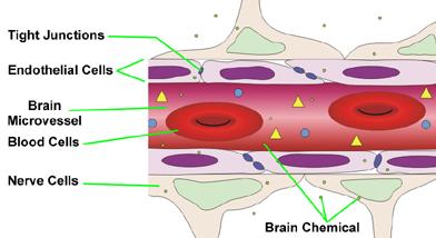 The blood-brain barrier.