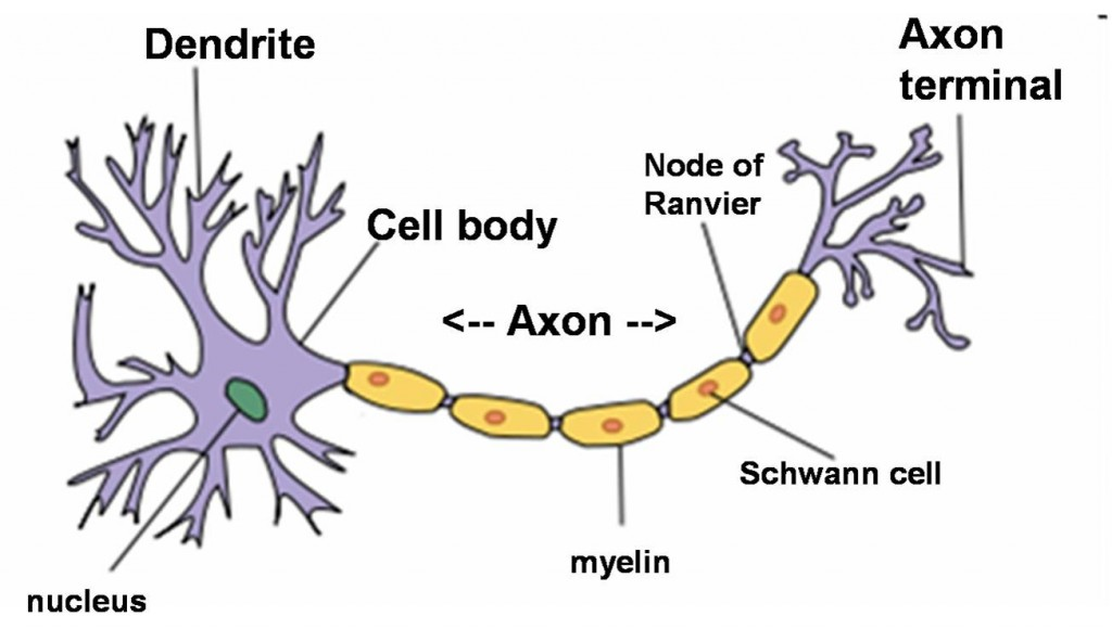 The structure of a neuron.